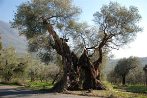 Olivo millenario di Palombara Sabina (tra i 2000/2600 anni di età)