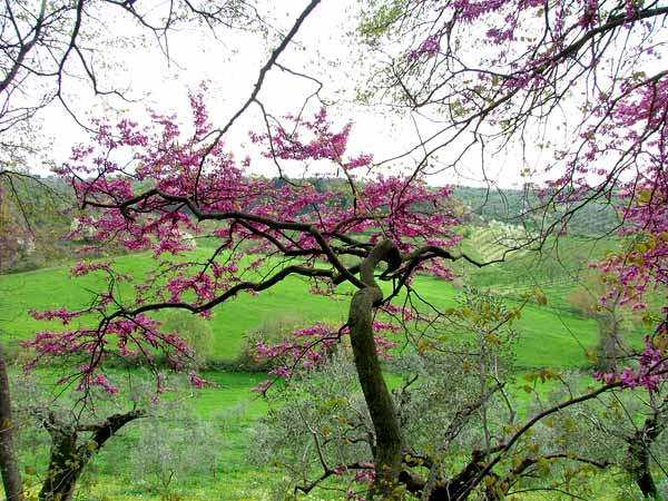 Flowering Cercis Siliquastrum