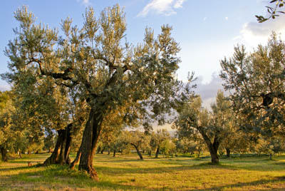 Old-growth olive groves in Sabina