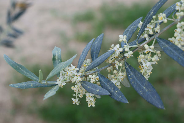 Flowering olive branch