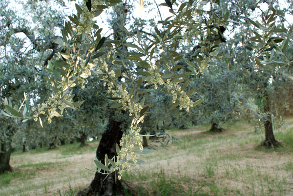 Flowering olive trees