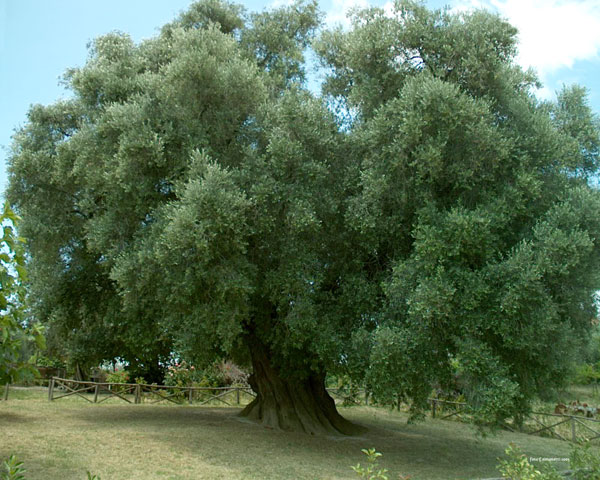 The Millennial Olive Tree of Canneto Sabino