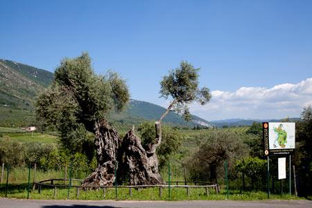 L'olivo più antico della Sabina