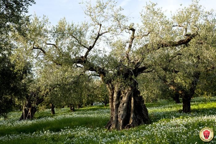 Оливковое масло экстра вирджин SABINA DOP