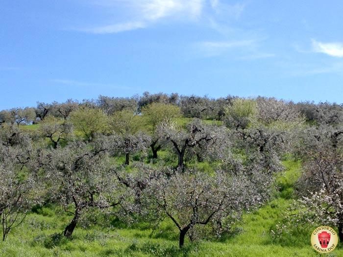 Oliveti sabini